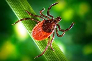 Enfermedad de Lyme, 300.000 casos