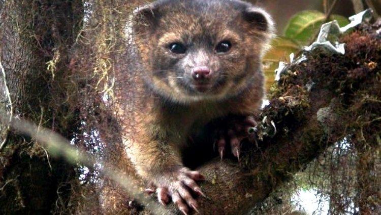 Olingo niebla, descubren una nueva especie de mamífero en los Andes