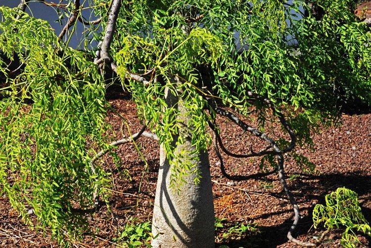 """""""Moringa Santo Remedio"""" Un árbol con propiedades increíbles que sería mencionado en la Biblia."""