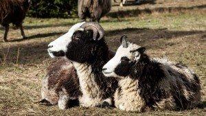 Vuelve una raza de ovejas del tiempo de Jesús
