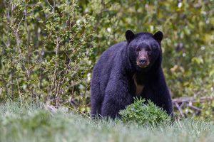 Pequeño de apenas 3 años que se perdió por dos días dice que un oso lo cuidó